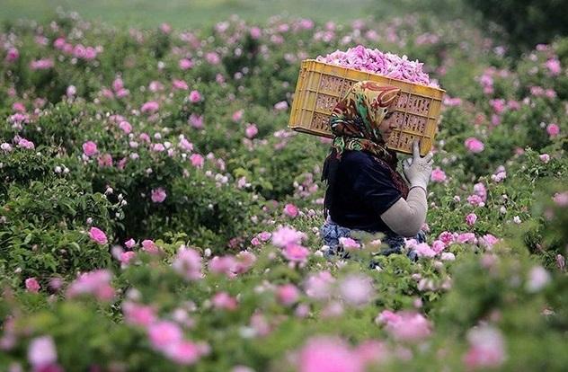 برداشت ۱۴۹ هکتار گل محمدی در شهرستان ملایر