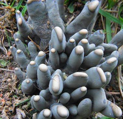 قارچهای وحشتناک به نام «انگشتان پای پدر»
