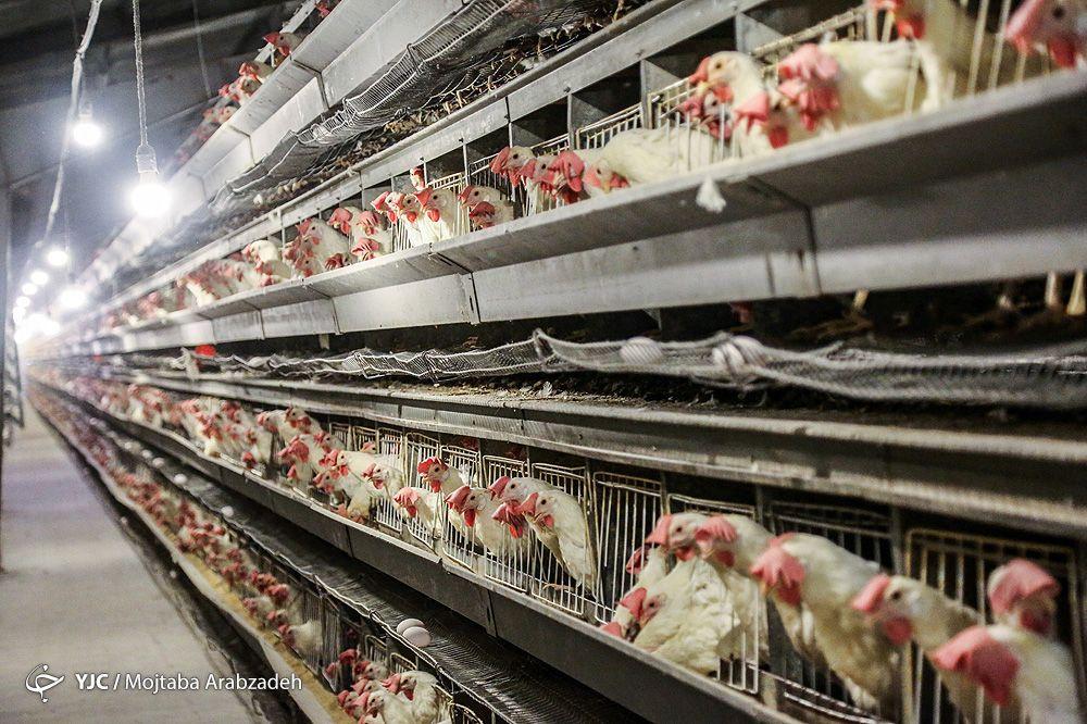 قیمت مرغ رو به افزایش