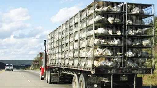 کشف بیش از ۲ هزار قطعه مرغ زنده قاچاق در فامنین