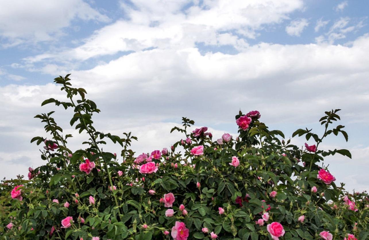 مراحل تولید گلاب گلاب گیری فرخد کجاست طرز تهیه گلاب زمان گلاب گیری خواص گلاب جشنواره گلاب گیری اخبار خراسان رضوی