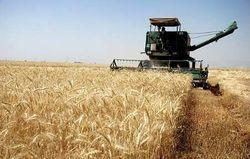پیشبینی برداشت ۴۵ هزار تن گندم در نهاوند
