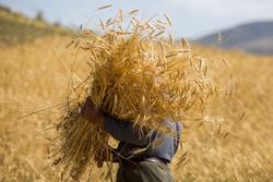 پیش بینی تولید بیش از ۵۰۰ هزار تن گندم در استان زنجان