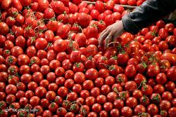 سونامی دوباره در بخش کشاورزی؛ این بار تولید گوجه فرنگی/ علت تولید مازاد محصولات کشاورزی چیست؟