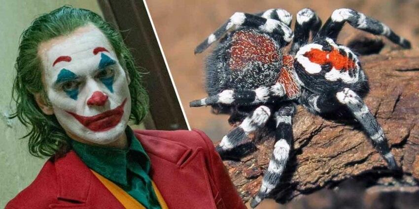 عنکبوت ایرانی شبیه جوکر + عکس