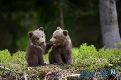 توله خرس
