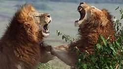 جنگ خونین ۲ شیر نر خشمگین با یکدیگر + فیلم