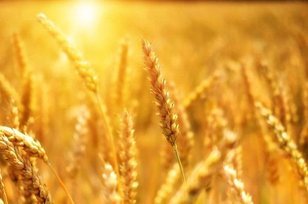 آغاز برداشت گندم در آذربایجان شرقی