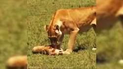 ناله یک شیر بر بالای جنازه تولهاش + فیلم