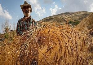 برداشت ۱۲ هزار تن گندم از مزارع مسجدسلیمان