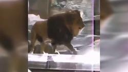 حمله شیر دست آموز به مربیاش در باغ وحش + فیلم