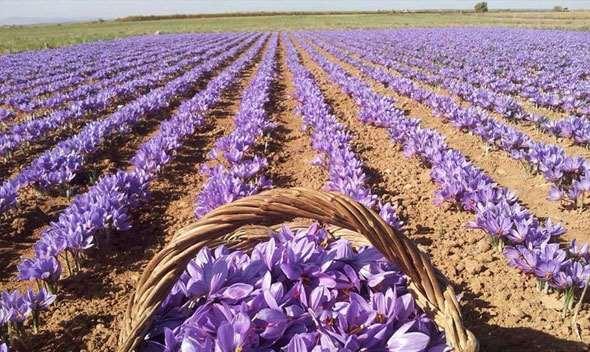 زعفران از جنوب خراسان کوچ کرد/ زحمت از ایران ، برند برای اسپانیا