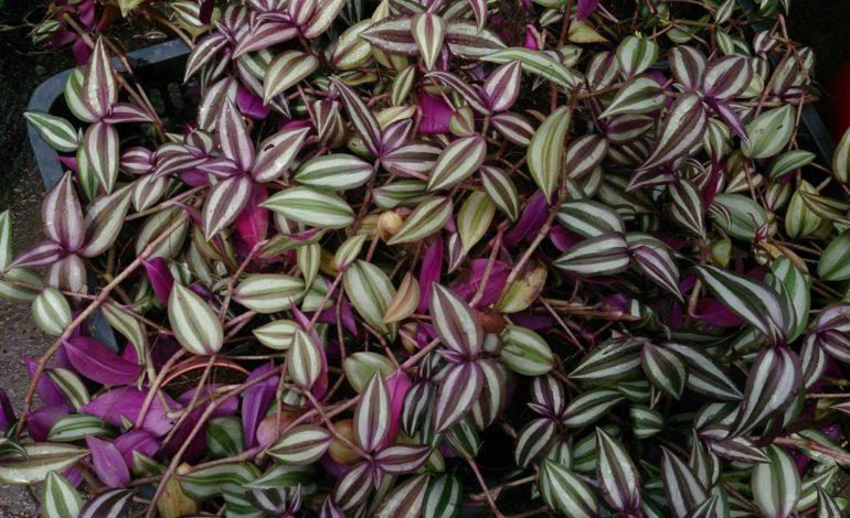 برگ بیدی گیاهی مناسب برای نگهداری در آپارتمان