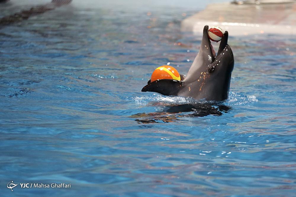 سرانجام تنها دلفین بازمانده دلفیناریوم برج میلاد چه می شود؟/ چرا تنها دلفین بازمانده برج میلاد در ایران نگهداری نمی شود؟