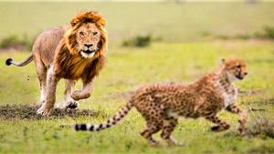 حمله دو شیر نر به یوزپلنگ