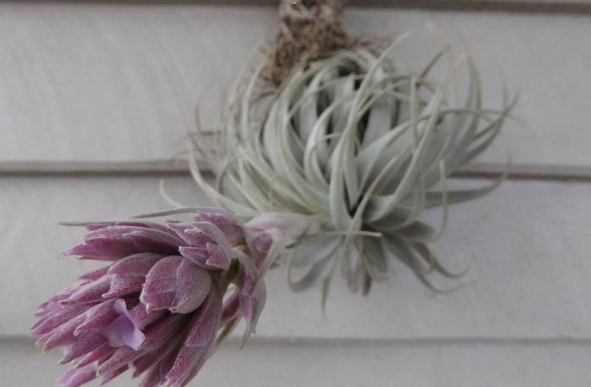 آشنایی با گیاه تیلاندسیا سیانا یک گیاه هوازی