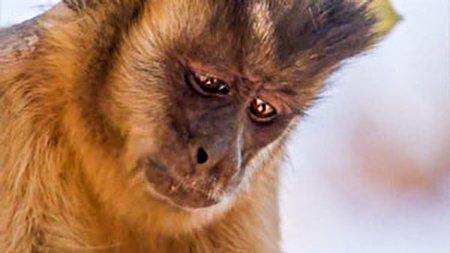 شباهت خیره کننده میمون و انسان در میوه خوردن! + فیلم