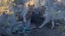 زجرکش کردن بچه زرافه توسط شیرهای نابالغ در آموزش شکار + فیلم