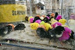 باشگاه خبرنگاران - شیوع ویروس کرونا با دست فروشی حیوانات
