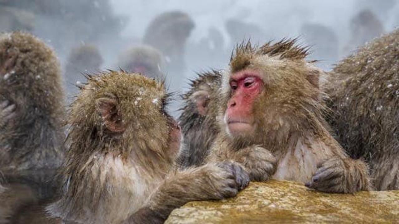 شباهت عجیب میمون و انسان در یادگیری زبان