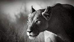 تمرکز حیرت آور یک شیر در  لحظه شکار + فیلم