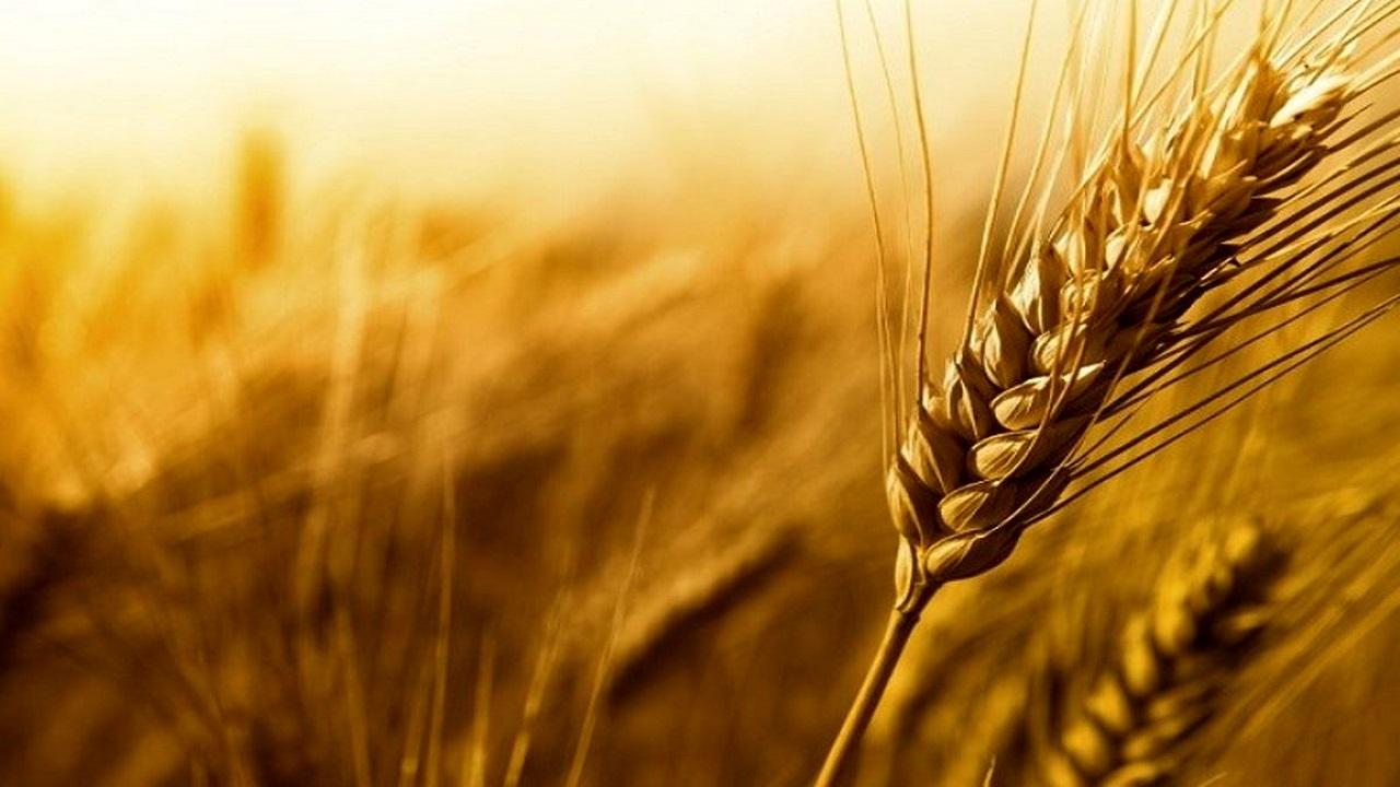 آغاز فصل خرید گندم به صورت رسمی در البرز