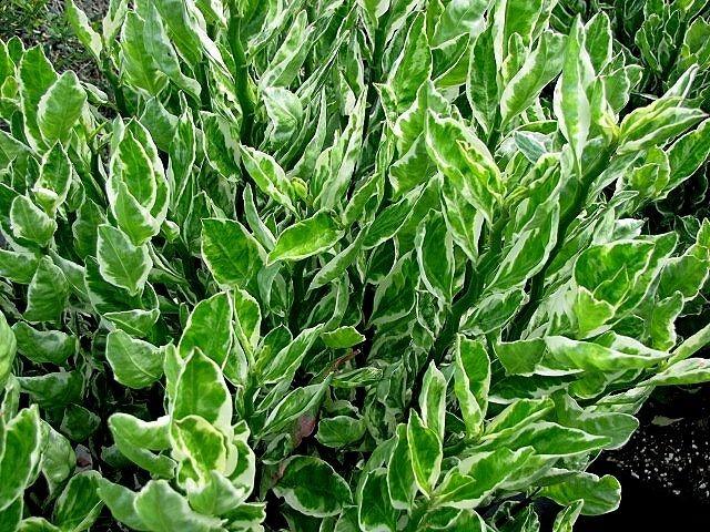 دانستنیهای جالب از گیاهی که به «ستون فقرات شیطان» مشهور است