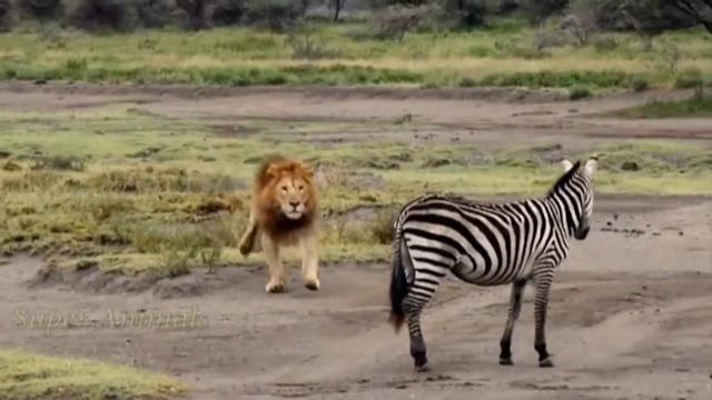 گورخر برای شیرها یک شکار مطلوب به شمار میآید