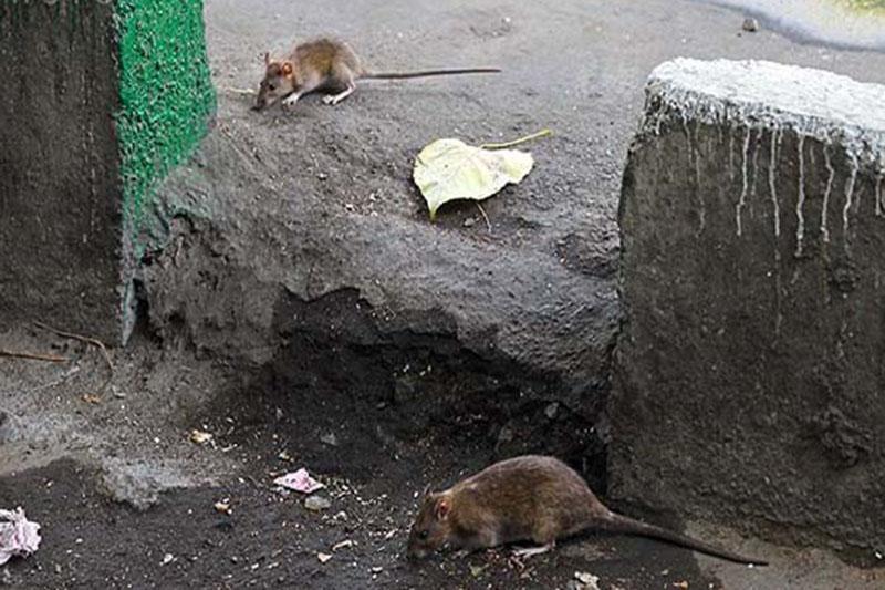 کاهش زاد و ولد موش ها با مدیریت تولید و انتقال پسماند