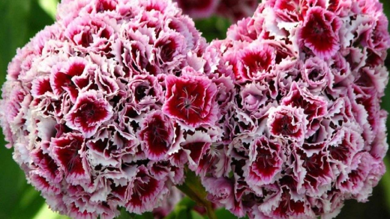 گل میخک گیاهی مناسب برای نگهداری در آپارتمان