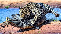 حمله غافلگیر کننده پلنگ به یک تمساح + فیلم
