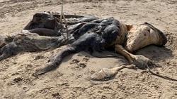 پیدا شدن جانور عجیب الخلقه در ساحل دریا!