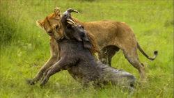 کمین و حمله بینقص شیر ماده برای شکار گراز + فیلم