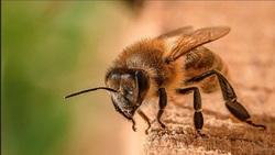 واکنش انستیتو پاستور به ادعای درمان کرونا با زهر زنبور عسل