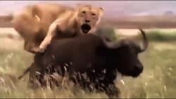 بوفالویی که قبل از مرگ، انتقامش را از یک شیر گرفت + فیلم