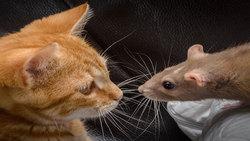 هم سفره شدن موش و گربه، رویارویی عجیب شکار و شکارچی دیرین + فیلم