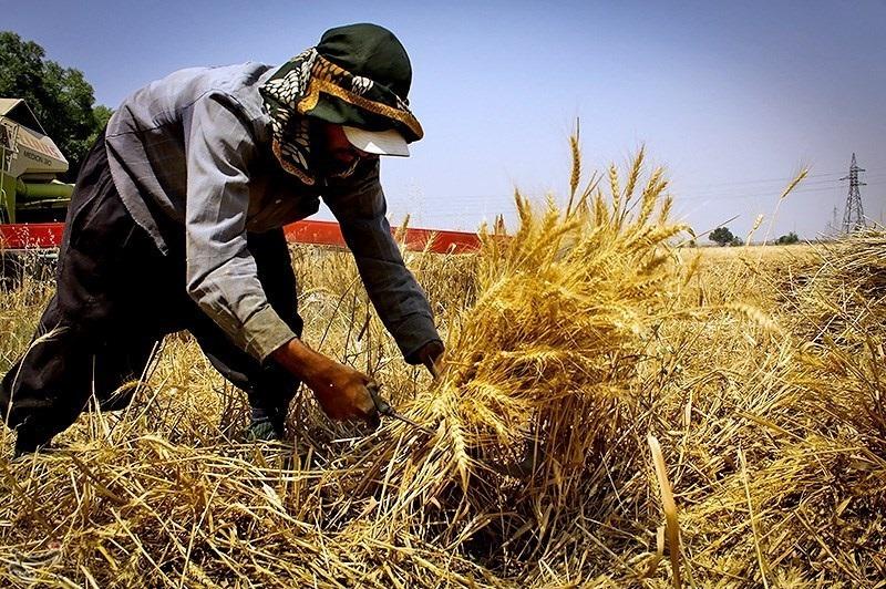 خریداری ۳۶۹ هزار تن گندم از کشاورزان همدانی