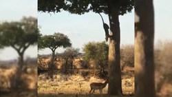 کمین دیدنی پلنگ از روی درخت برای شکار ایمپالا + فیلم