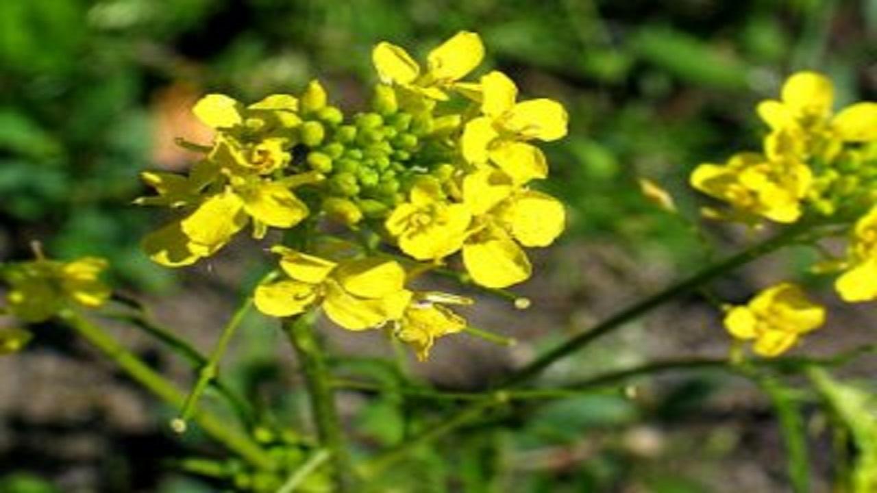خاکشی؛ گیاهی با خواص متنوع