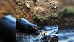 کشتن آهو توسط اسب آبی بی اعصاب + فیلم