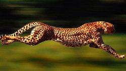 فرار بزدلانه یوزپلنگ از ترس چند کفتار + فیلم