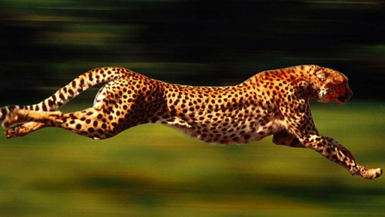 حمله کفتارها به یوزپلنگ