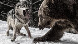 دفاع جسورانه خرس از تولههایش در رویارویی با حمله گرگهای گرسنه + فیلم