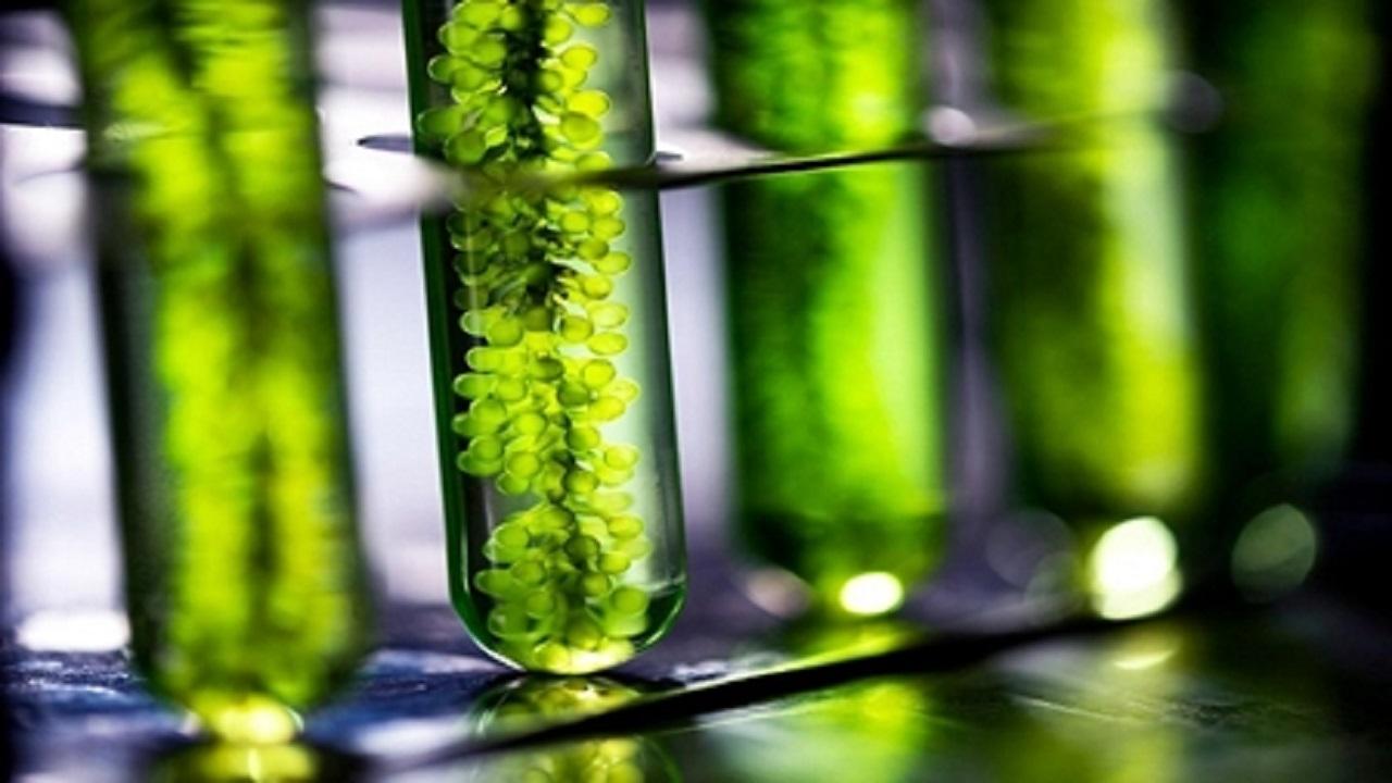 بازار تولید جلبک در کشور تقویت میشود