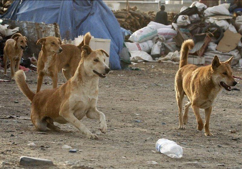 سگ های ولگرد در حال یافتن غذا