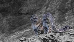 اولین فیلم از پلنگ برفی از نمای نزدیک / حیوانی که انسانها به ندرت آن را میبینند + ویدئو