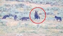لحظه رویارویی خرس مادر با گله گرگ ها