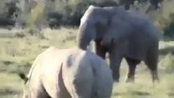 شگرد فیل باهوش برای مبارزه نکردن با کرگدن خشمگین!
