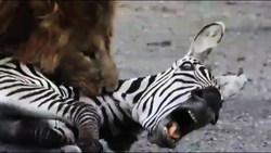 شکار آسان گورخر تنها توسط شیر نر + فیلم
