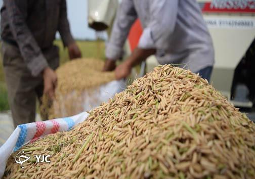 حال ناکوک شالیکاران و احوال خوش دلالان برنج